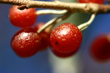 Wild Autumnberries.