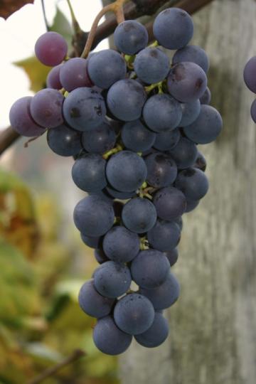 Van Buren Grapes.