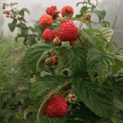 Wildgrown Raspberries.