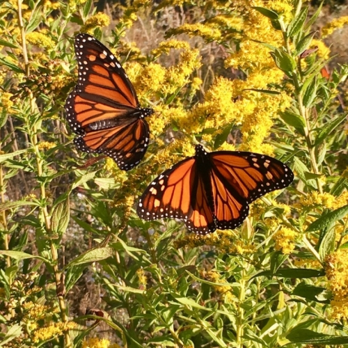 Monarchs on Goldenrod.