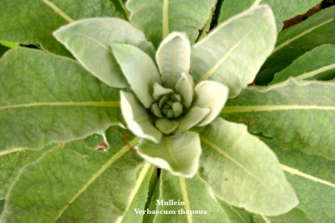 Mullein is a biennial, meaning it produces its signature flowered stalk every other year.