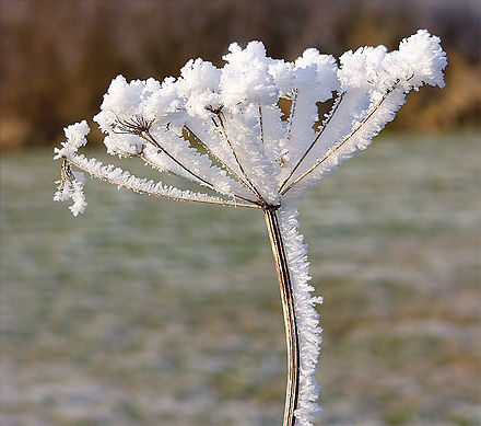 Crystal-coated Queen Anne's Lace.