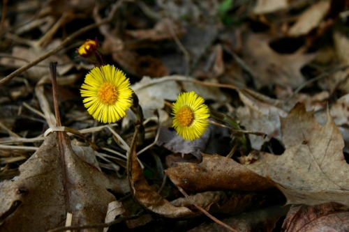 """Coltsfoot has a hoof-shaped leaf; however, the leaves don't appear until after this beautiful flower has gone to seed. Thus it is also known as """"Son before Father."""""""