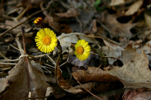 "Coltsfoot has a hoof-shaped leaf; however, the leaves don't appear until after this beautiful flower has gone to seed. Thus it is also known as ""Son before Father."""