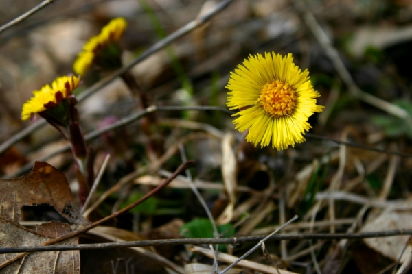 At one time, Coltsfoot was so popular for its medicinal properties that the golden flowers were used as the standard symbol outside apothecary shops.