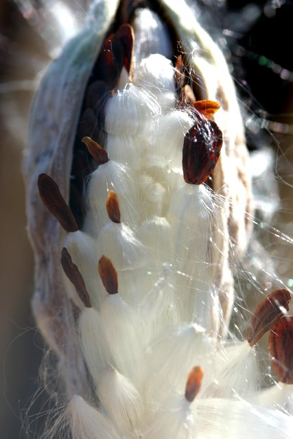 Common milkweed seed pod
