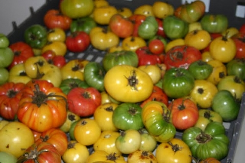 Ripening tomatoes.