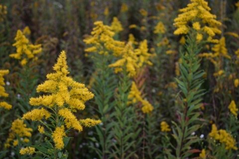 Glorious Goldenrod.