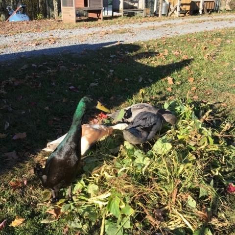 October 20. Duckies rooting through garden waste.