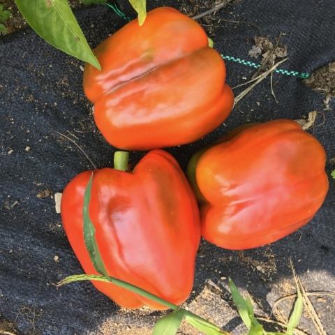 September 10. Peppers!