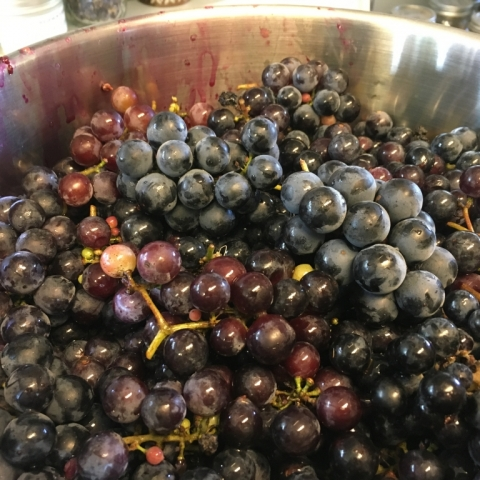 September 19. Grapes ready for steaming.