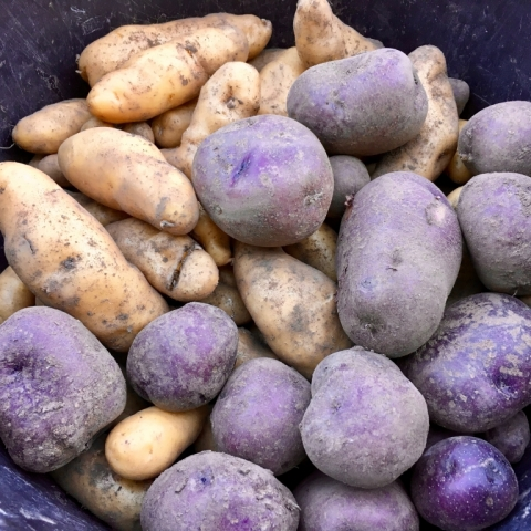 September 23. Potato harvest.