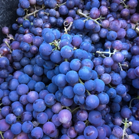 Grapes and MORE grapes. What a harvest!