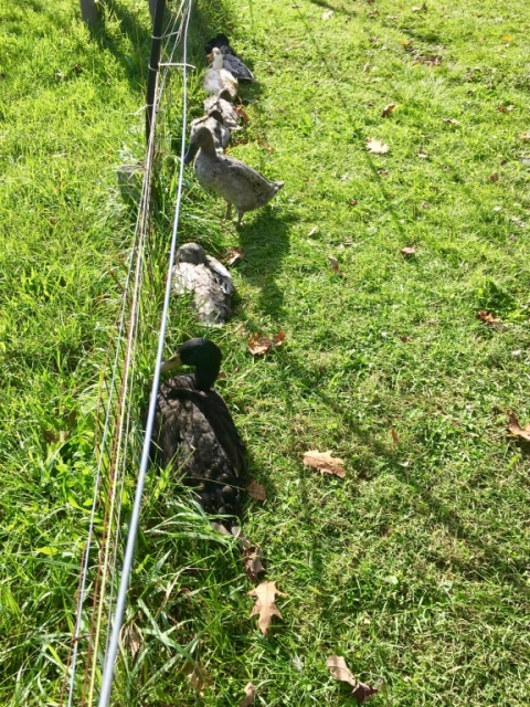 We've discovered that ducks tend to get themselves in a row quite routinely.