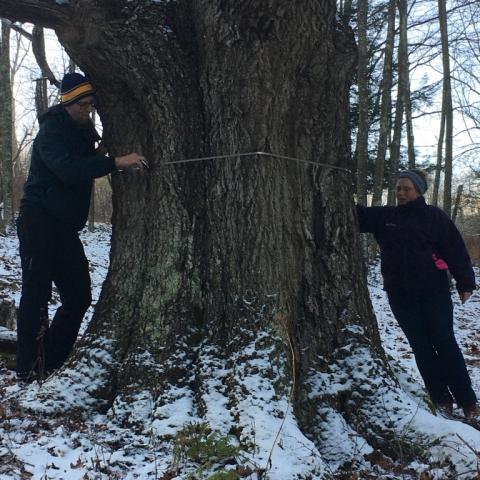 December 15. Measuring Hagrid, our favorite Black Oak.