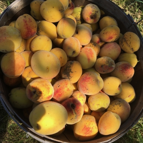 Final harvest of peaches.