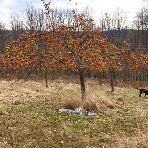 November 9. Crab apples.
