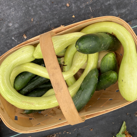 Tromboncino squash and cukes September 2.