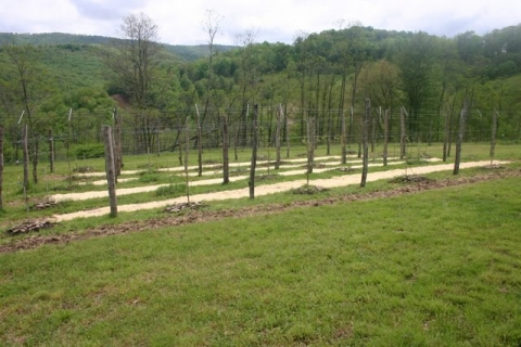 Vineyard, newly sown with red and white clover