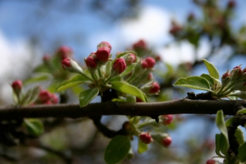 Grandmother apple tree blossoms