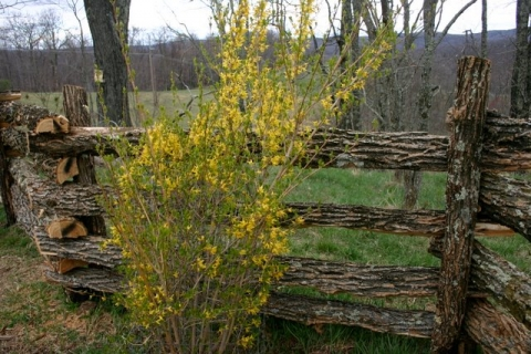 Forsythia along locust fence