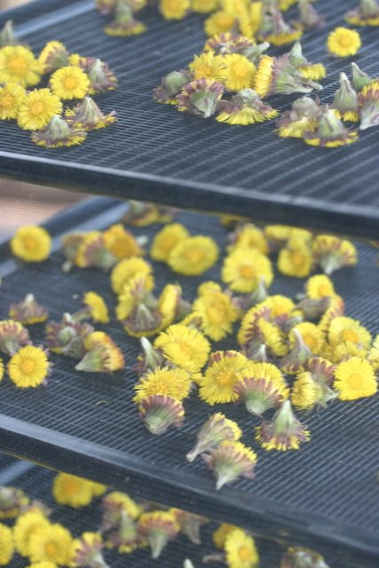 Coltsfoot blossoms in the dryer