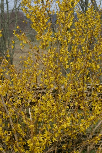 Forsooth, Forsythia!