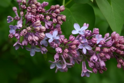 Lilac blossoms at Brightside. The first ever
