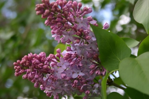 Brightside Lilac