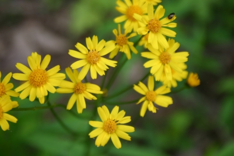 Golden ragwort.
