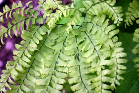 Maidenhair fern.