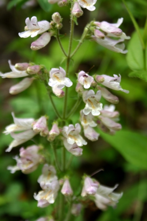 Grey beardtongue.