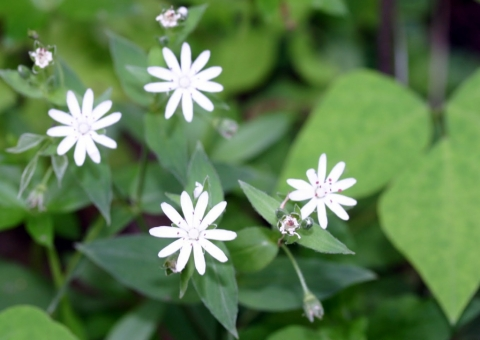 Star chickweed.