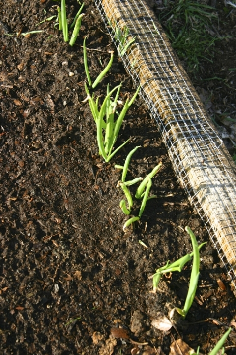 Scallions planted last fall.