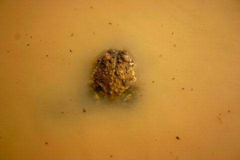 A female American toad in a driveway mud-puddle.