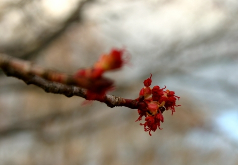 Red maple buds, April 17.