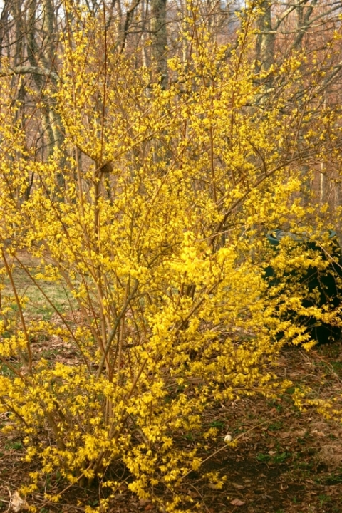 Forsythia on the north side of the house, April 17.