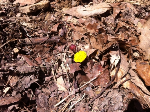 First coltsfoot (Tussilago farfara) spotted on the Old Pike Road, April 2.