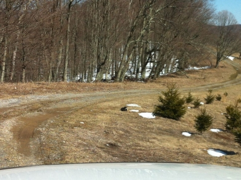A skunk wandering along the drive, April 8.