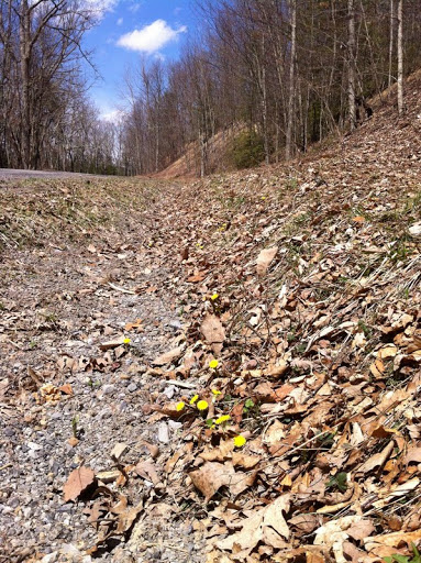 More coltsfoot, April 10.