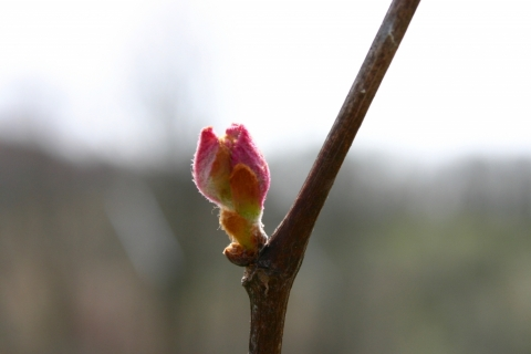 Grape leaf bud.
