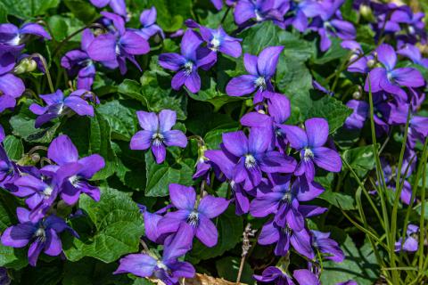 May 23. Violets.