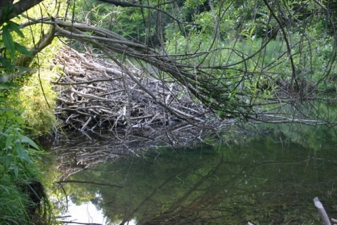New beaver lodge