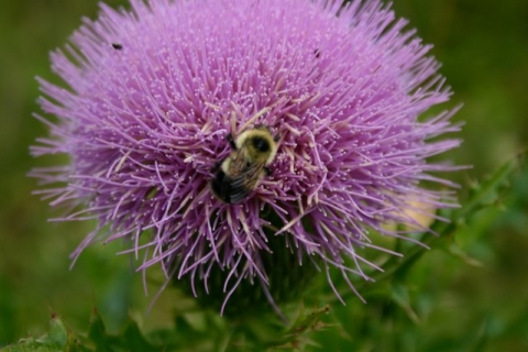 Bull thistle and bumblebee