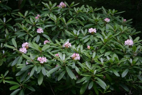 Great Rhododendron in Hidden Valley