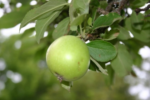 Grandmother apple tree