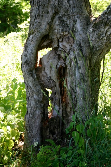 An ancient apple tree trunk. Nature's sculpture