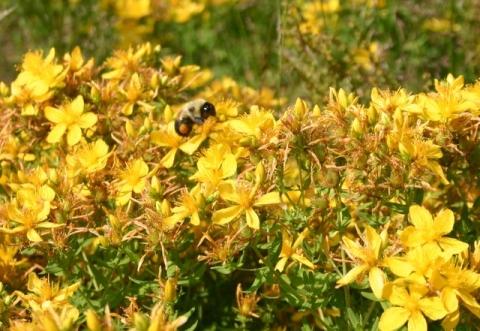 A bumblebee explores abundant St. John's Wort
