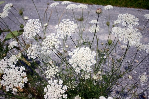 Queen Anne's Lace thrives along the driveway