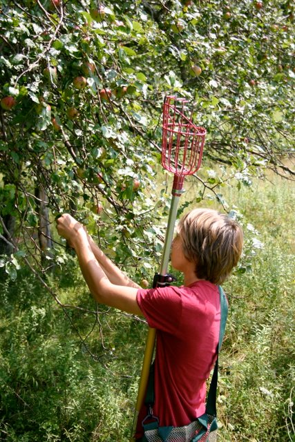 Apple picking, August 16